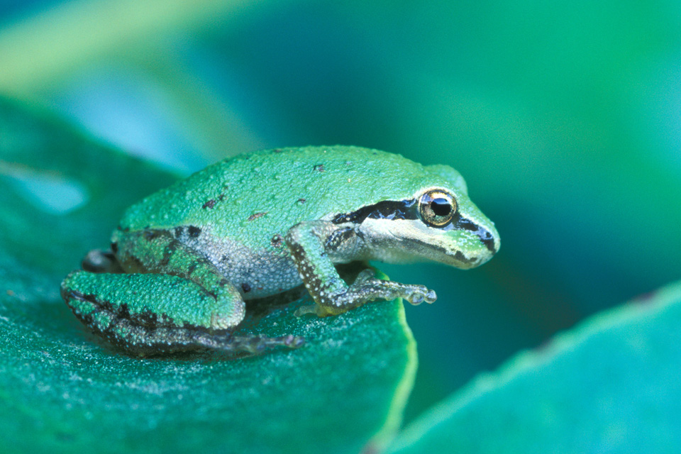 Pacific Treefrog on Leaf