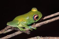 Ankafana Bright-eyed Frog