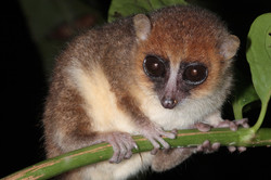 Anjiahely Mouse Lemur