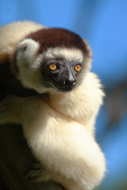 Verreaux's Sifaka or Dancing Lemur