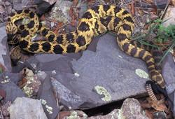 Mating Black-tailed Rattlesnake