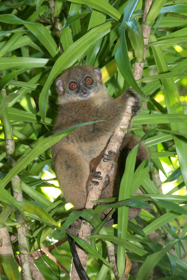 Grey-backed Sportive Lemur