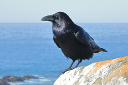 Common Raven with Nictitating Membrane