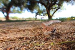 Red Diamondback Rattlesnake (Head)