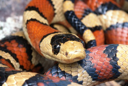 Chihuahuan Mountain Kingsnake