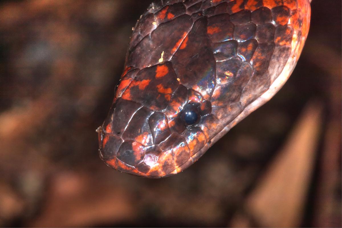 Striped Brook Snake, close-up
