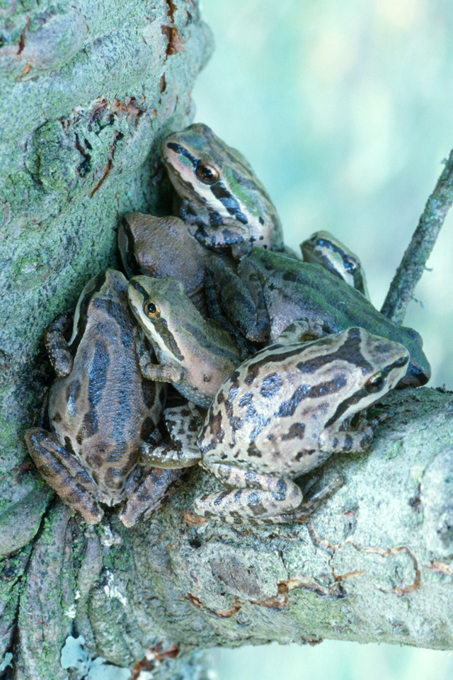 Pacific Treefrogs at Base of Branch