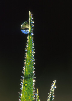 Oak Tree Refracted in Dew on Grass