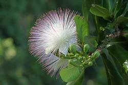 Powder-puff Tree Blossom