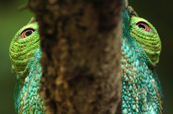Parson's Chameleon Looking Backward