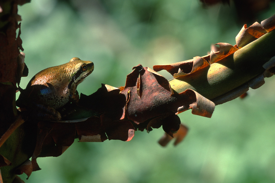 Pacific Treefrog on Madrone Tree