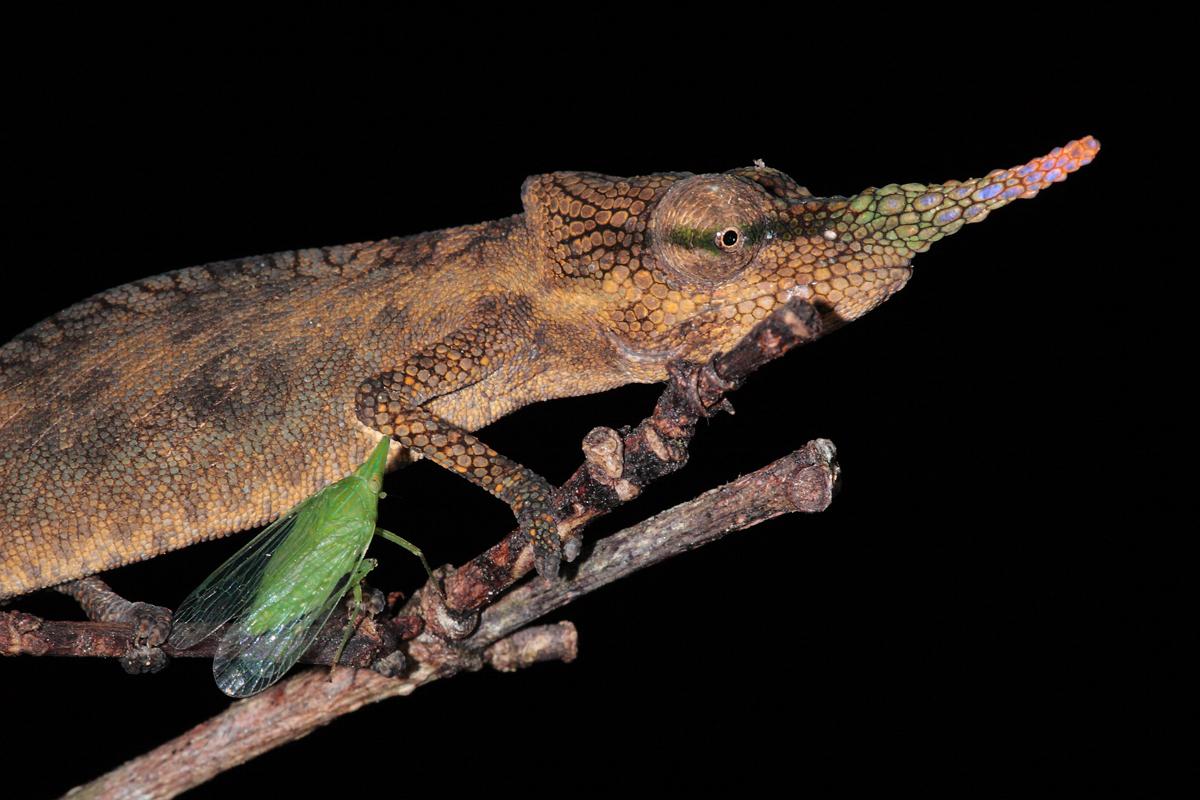 Lance-nosed Chameleon with Katydid