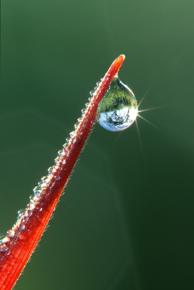 Tree Refracted in Dew on Red Grass
