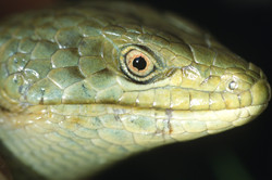 Southern Alligator Lizard, close-up
