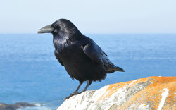 Common Raven, Salt Point State Park