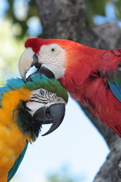 Blue-and-Gold and Scarlet Macaws