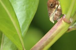 Juvenile Panther Chameleon