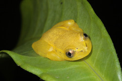 Spotted Madagascar Reed Frog