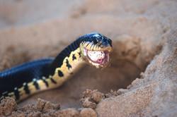 Madagascar Giant Hognose Snake