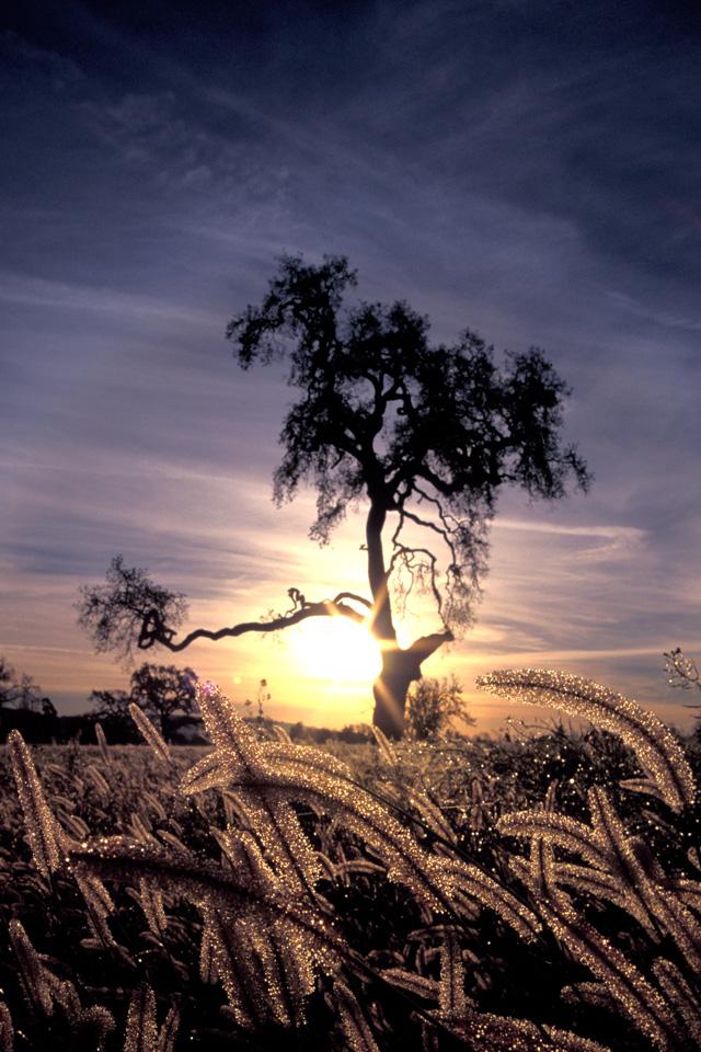 Valley Oak at Dawn
