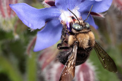 Mountain Carpenter Bee Male