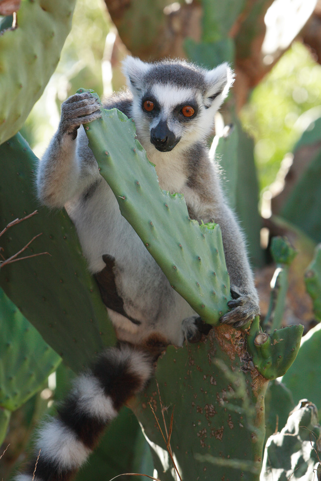 Ringtail Lemur with Prickly Pear