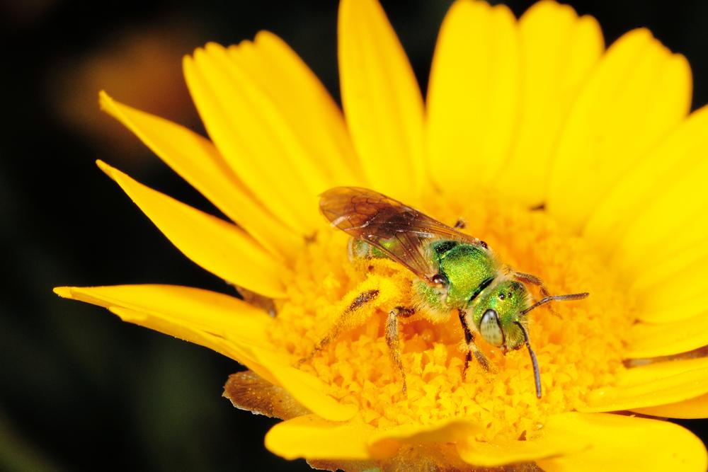 Female Ultra Sweat Bee
