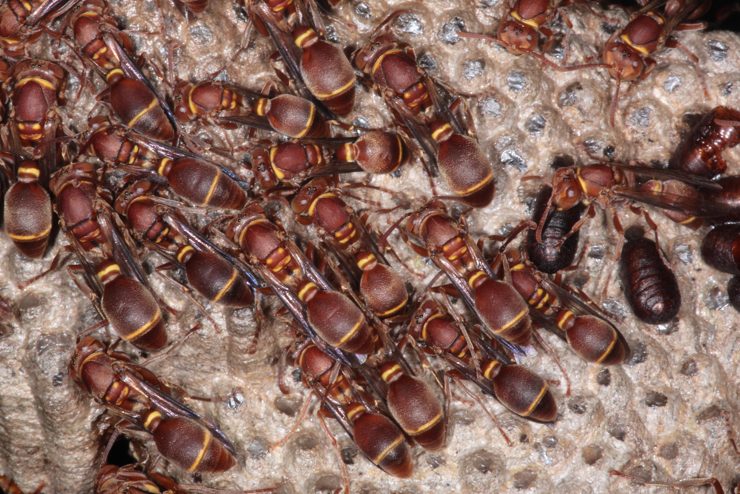 Paper Wasps, Madagascar