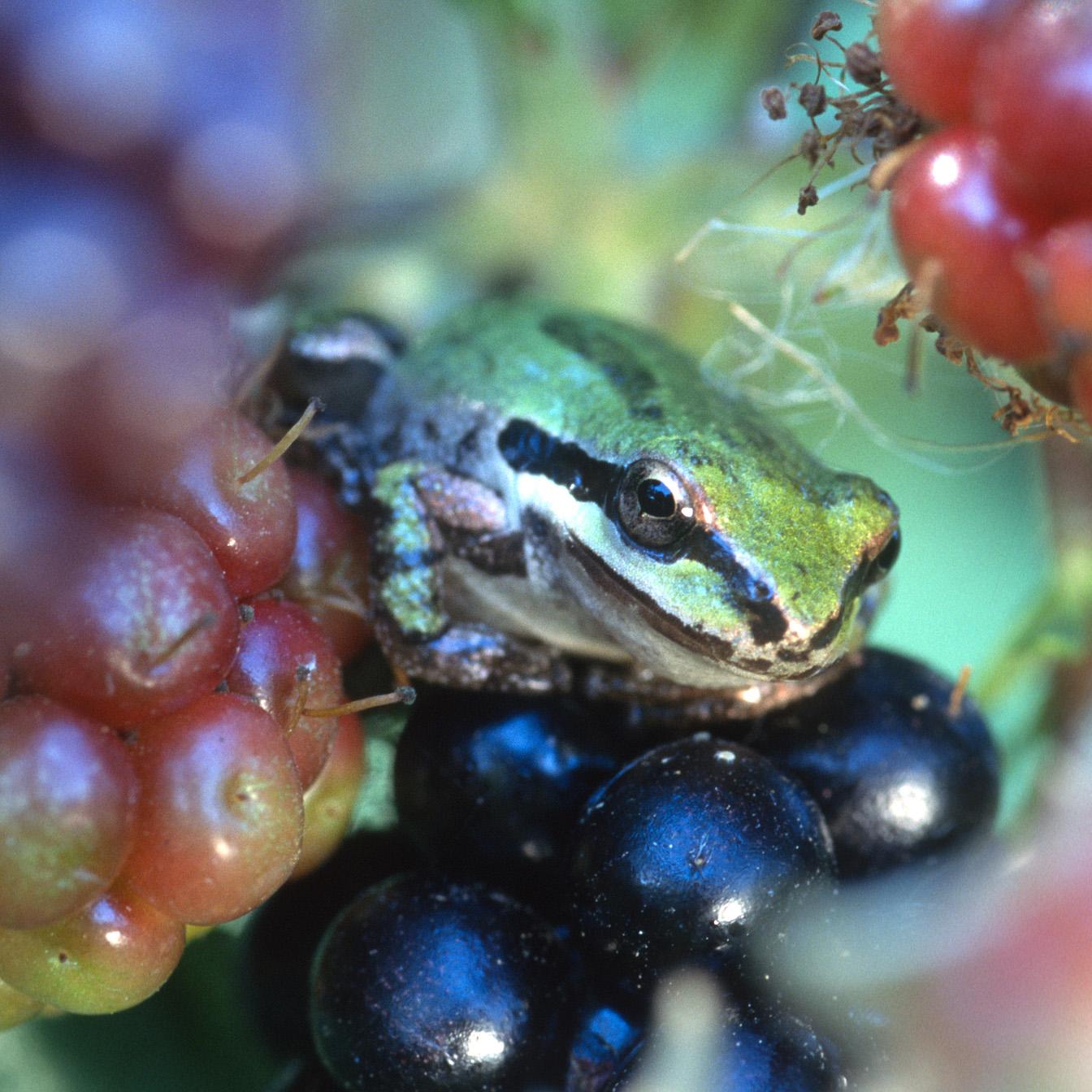 Pacific Treefrog in Blackberries