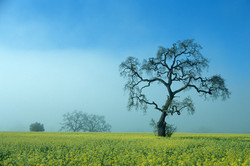 Oak Tree in Mustard Field