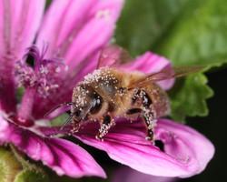 European Honeybee With Pollen