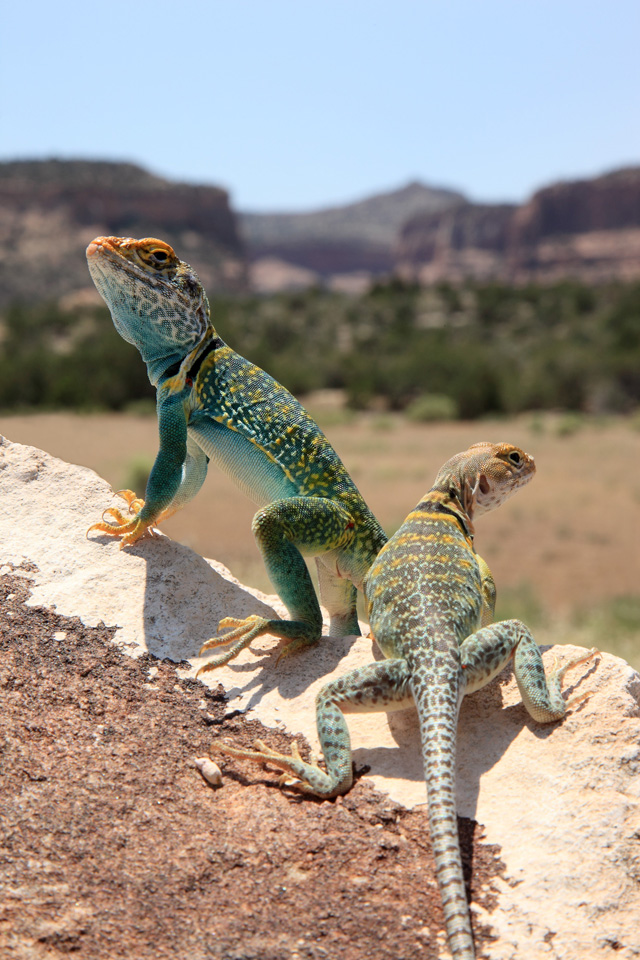 Eastern Collared Lizards (♂  and ♀)