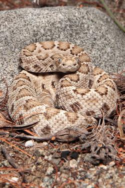 Rattleless Rattlesnake