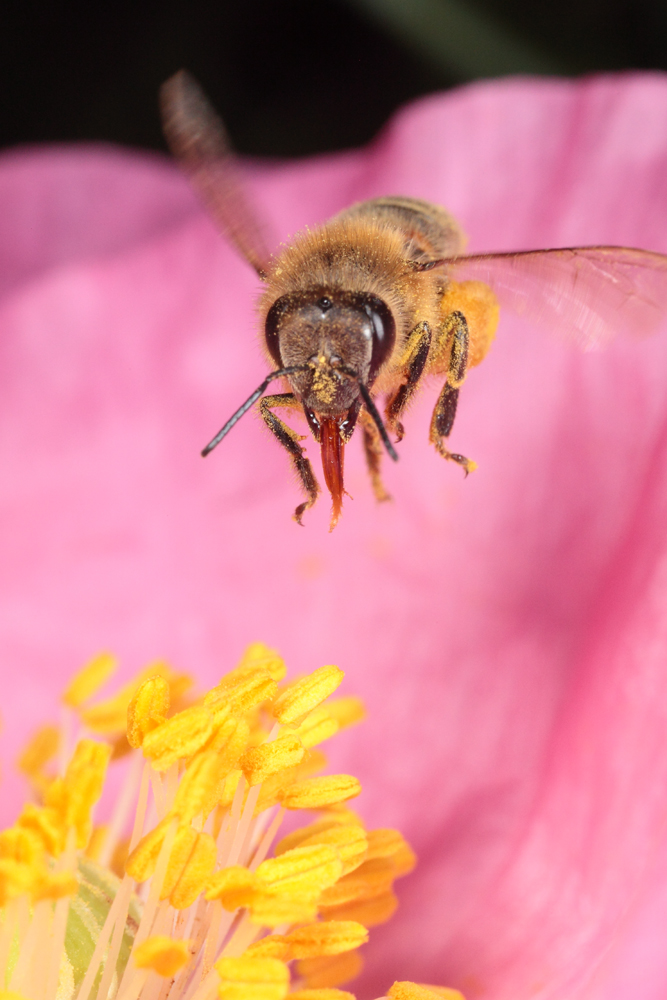 Honeybee Hovering Over Poppy