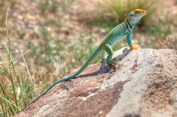 Male Eastern Collared Lizard (Crotaphytus collaris)