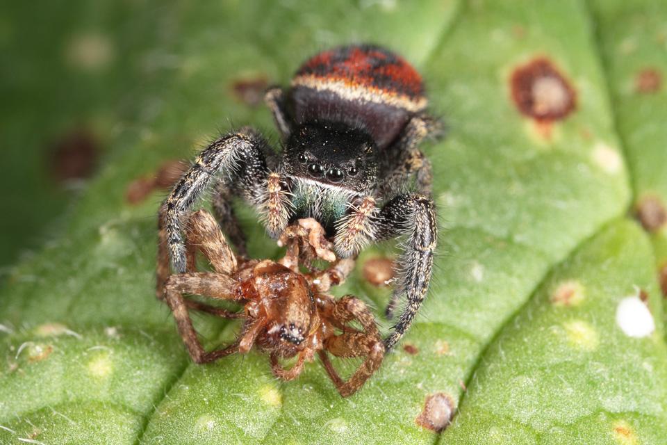 Johnson's Jumping Spider Feeding