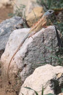 Madagascar Iguana