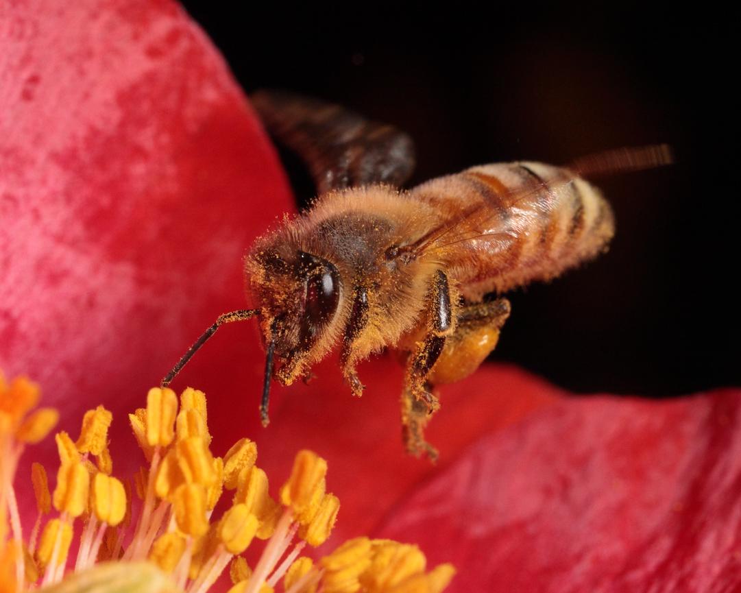 Honeybee With Pollen