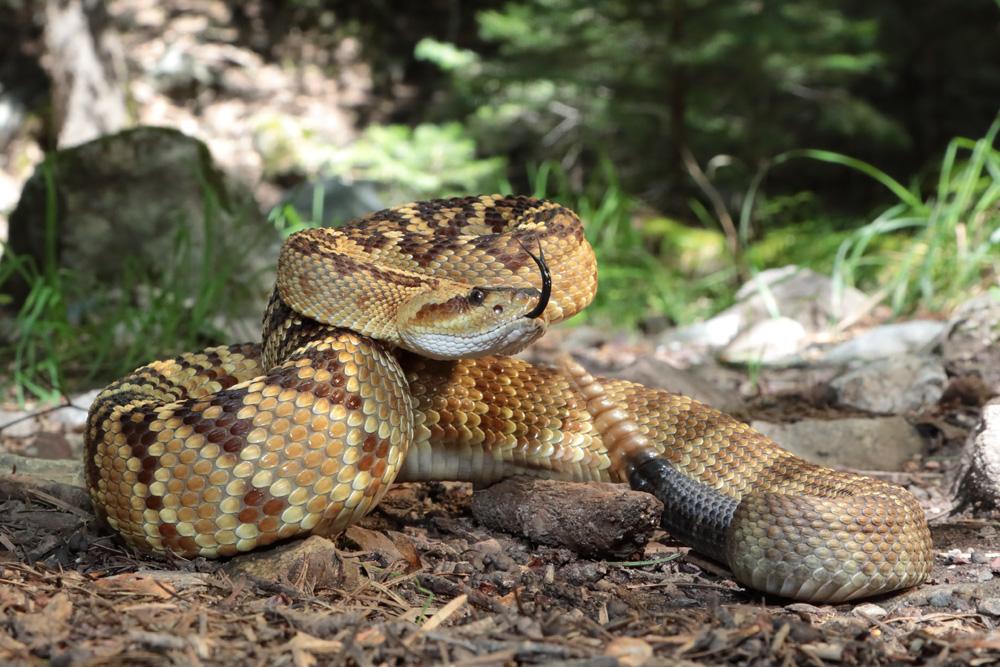 Northern Blacktail Rattlesnake