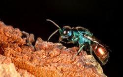 Cuckoo Wasp (Pseudomalus auratus)