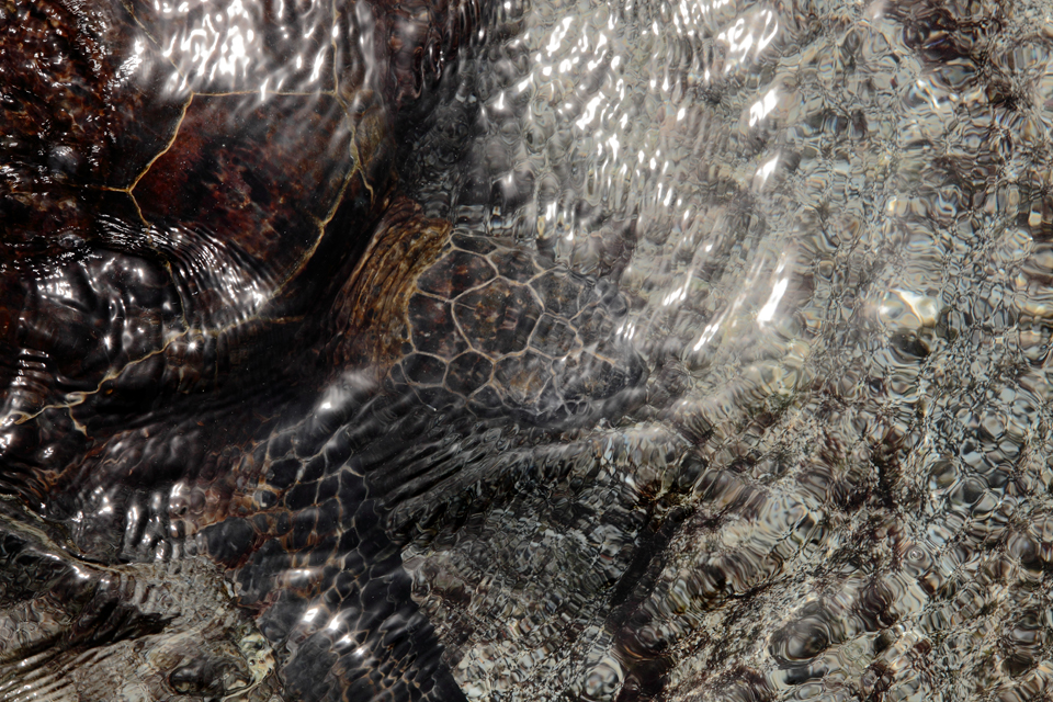 Green Sea Turtle Under Water