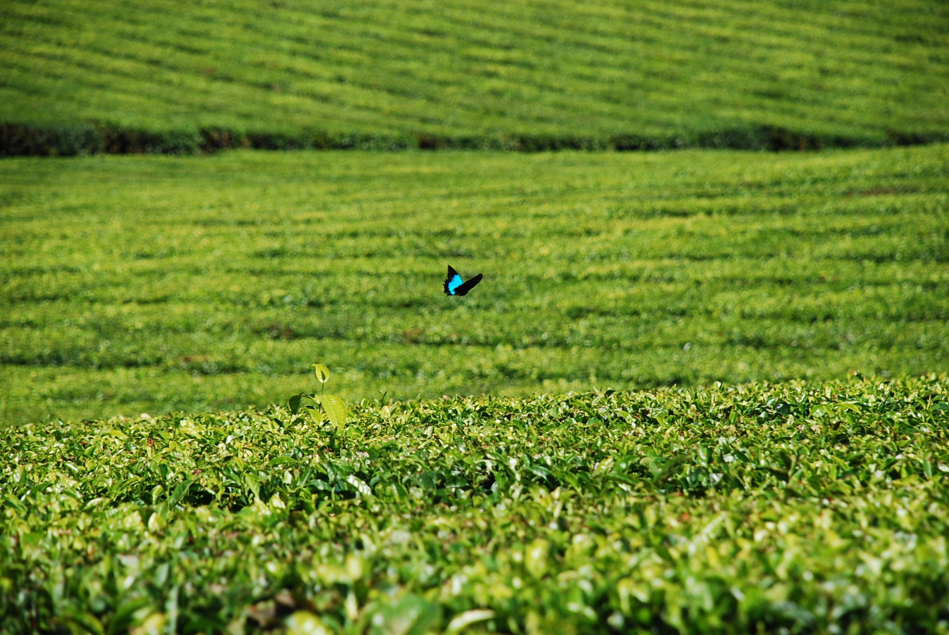 Tea Fields and Butterfly