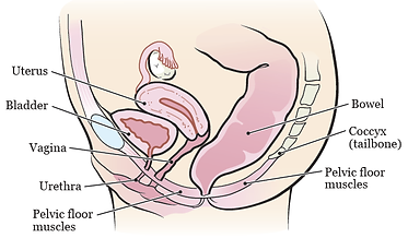 bladder and bowel anatomy.png