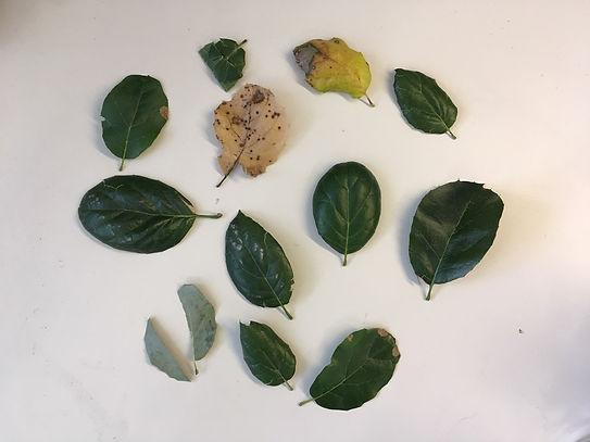 Leaf samples.jpg