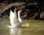 geese and goslings.jpg