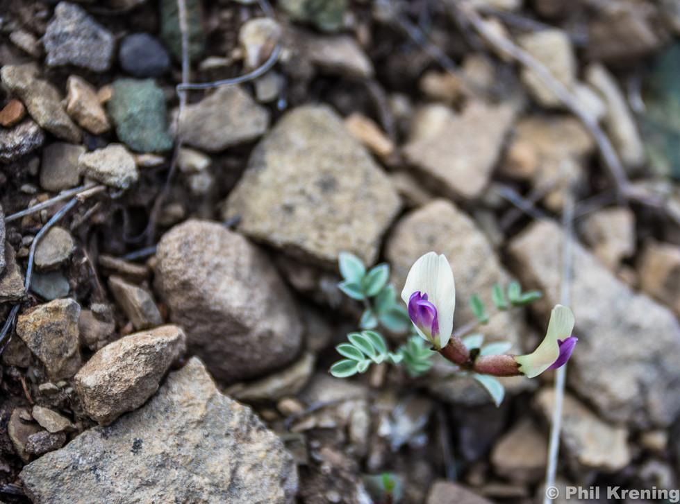 Naturita milkvetch