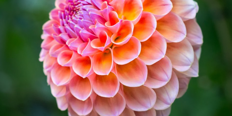 Dahlia Display and Cultural Clinic