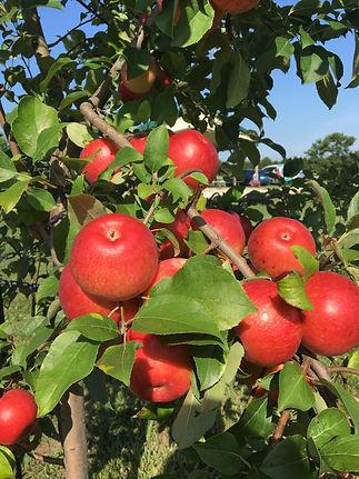 Cherry Hawk apples.JPG
