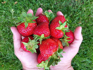 Strawberries in hands.jpg