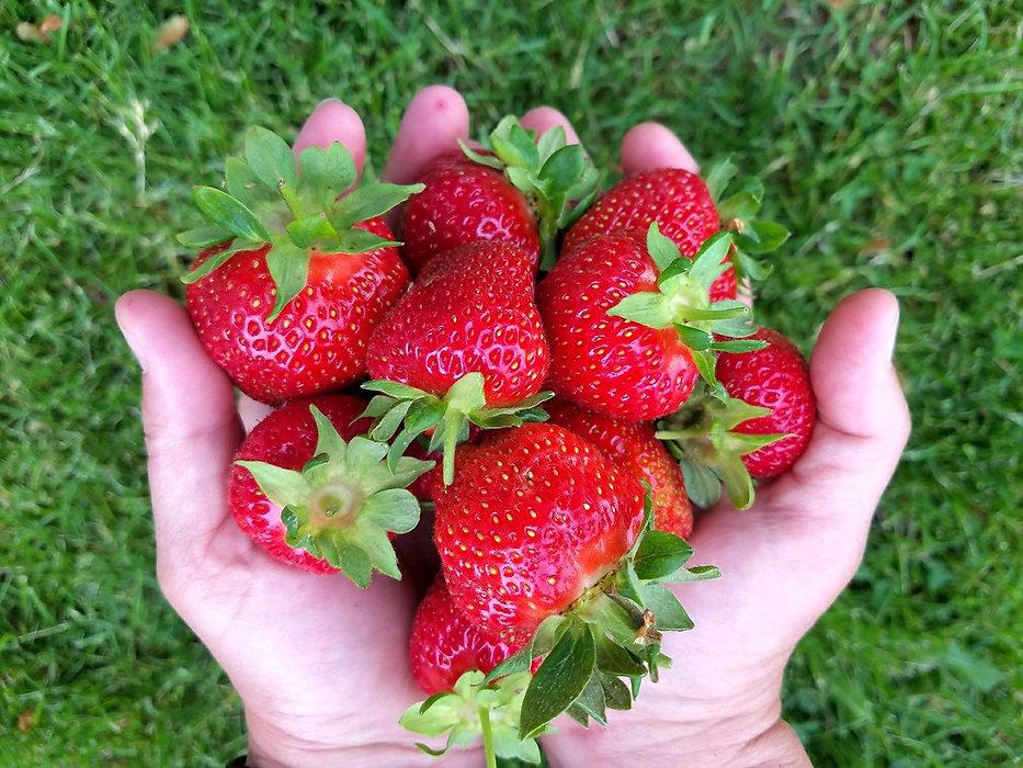 Strawberries in hands.jpg